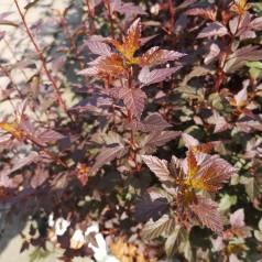 Physocarpus opulifolius Little Joker - Rød Blærespiræa