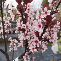 Prunus cistena - Dværg Blodblomme