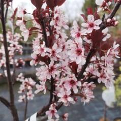 Prunus cistena - Dværgblodblomme / 80 cm. stamme.