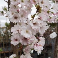 Prunus serrulata Amanogawa - Japansk Søjlekirsebær / 50-80 cm.