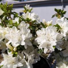Rhododendron Kermesina Alba / Japansk Azalea