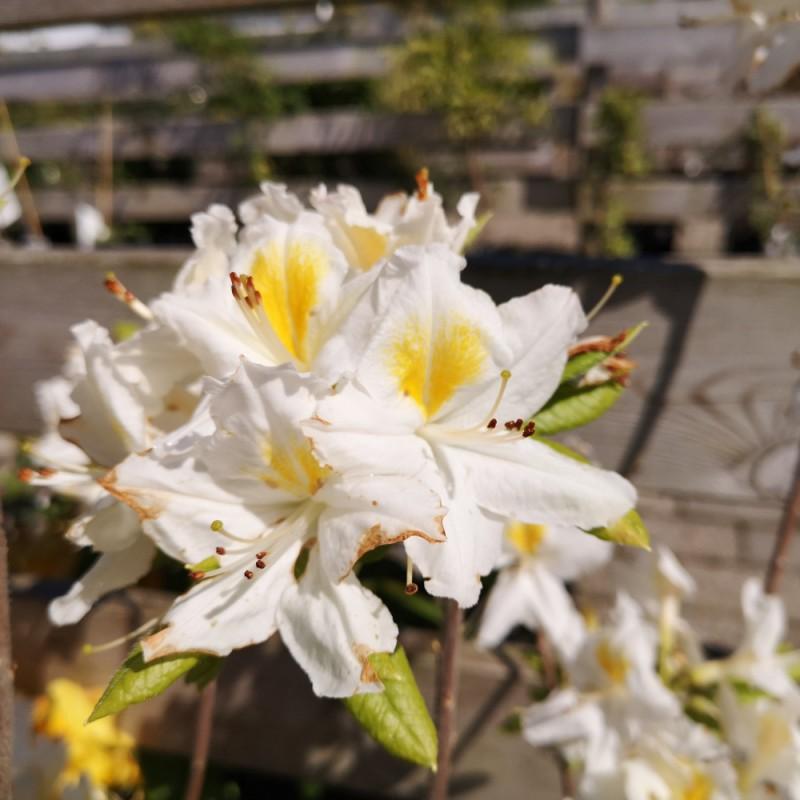 Rhododendron knaphill Persil - Haveazalea
