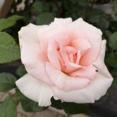 Rose A Whiter Shade of Pale - Storblomstret Rose