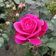 Rose Blackberry Nip - Storblomstret Rose / Barrods