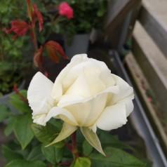Rose Claus Dalby™ - Storblomstret Rose / Barrods