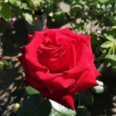 Rose Ingrid Bergman / Storblomstret Rose - Barrods
