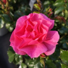 Rose Just You and Me - Buketrose / Barrods
