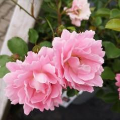 Rose Sommerwind / Bunddækkende rose - Barrods