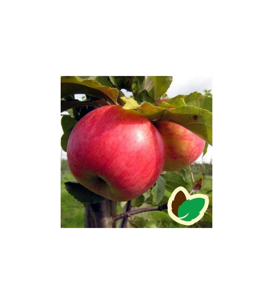 Æbletræ Fredrik