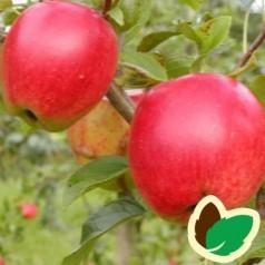 Æbletræ Retina