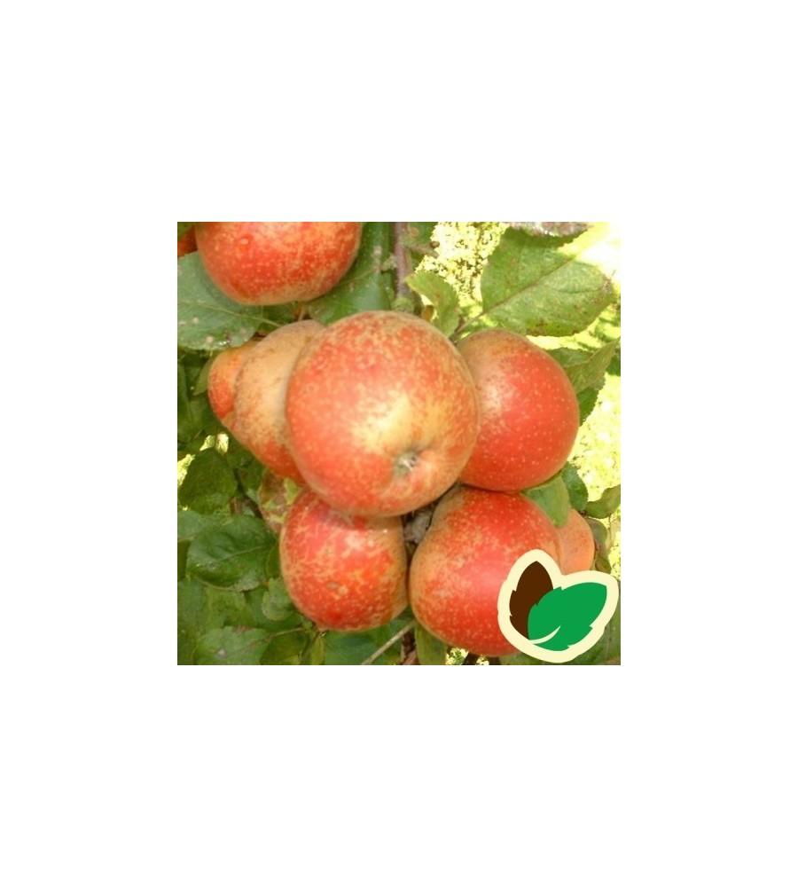 Æbletræ Rød Belle de Boskoop