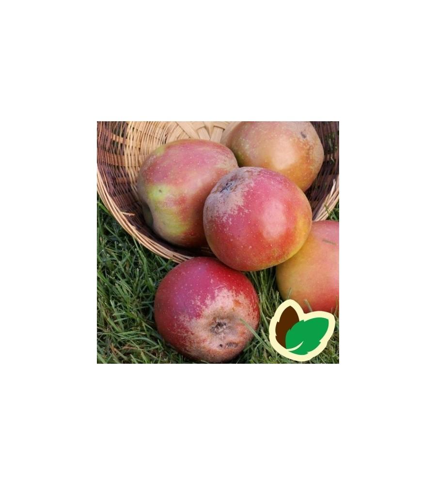 Æbletræ Rød Cox Orange