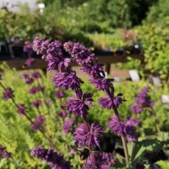 Salvia verticillata Purple Rain / Salvie