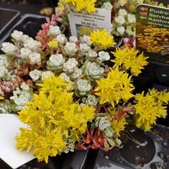 Sedum spathulifolium Cape Blanco / Pudret Stenurt