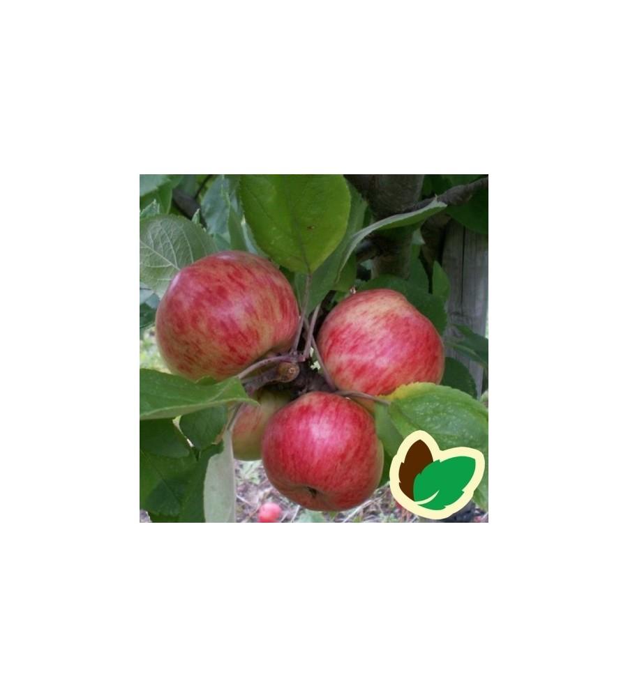 Cider Æbletræ Browns Apple