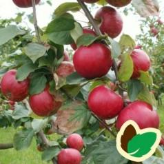Cider Æbletræ Foxwhelp