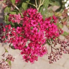 Rød Spiræa 20-40 cm. - Bundt med 10 stk. barrodsplanter - Spiraea bumalda Anthony Waterer