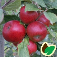 Cider Æbletræ Stoke Red