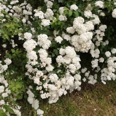 Buketspiræa 50-80 cm. - Bundt med 10 stk. barrodsplanter - Spiraea vanhouttei