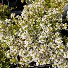 Thymus praecox Albiflorus / Prydtimian