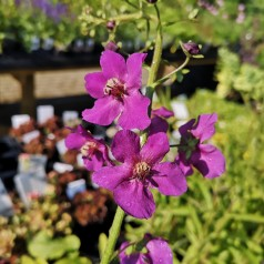 Verbascum phoeniceum Violetta / Kongelys