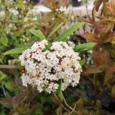 Viburnum pragense - Japansk Snebolle