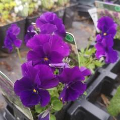 Viola cornuta Martin / Hornviol