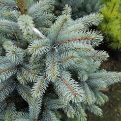 Picea Pungens Super Blue Seedling - Blågran / 60-80 cm.