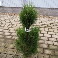 Pinus nigra Green Tower - Østrigsk Søjle Fyr 60-80 cm.