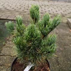 Pinus parviflora Bergman - Dværg Penselfyr