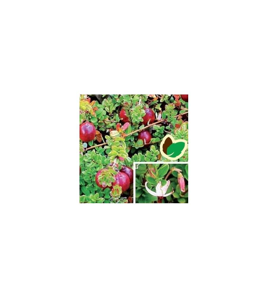 Tranebær / Vaccinium macrocarpon Howes