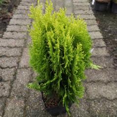 Platycladus - thuja orientalis Aurea Nana - Orientalsk Thuja