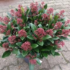 Skimmia japonica Rubella - 5L potte
