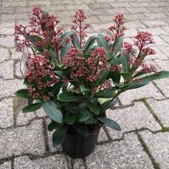 Skimmia japonica Rubella - 1,5L potte