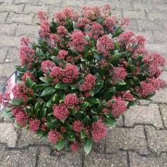 Skimmia japonica Rubesta Jos - 7,5L Potte