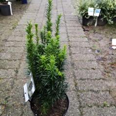 Taxus baccata Fastigiata - Søjletaks / 40-50 cm.