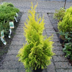 Thuja occidentalis Yellow Ribbon - Gul Thuja / 40-50 cm.