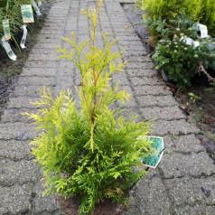 Thuja occidentalis Yellow Ribbon - Gul Thuja