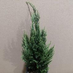 Chamaecyparis lawsoniana White Spot - Cypres / 40-50 cm.