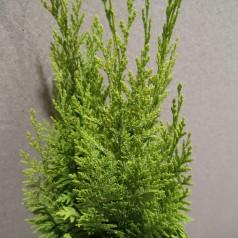 Chamaecyparis lawsoniana Yvonne - Cypres