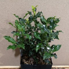 Ilex aquifolium Alaska / Kristtorn