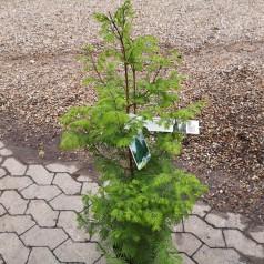 Metasequoia Glyptostroboides - Vandgran