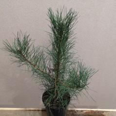 Pinus nigra Nigra - Østrisk fyr / 40-50 cm.