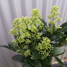 Skimmia Japonica Finchy - p10 12+blomster