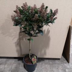 Skimmia japonica Intense - Skimmia 60 cm. stamme