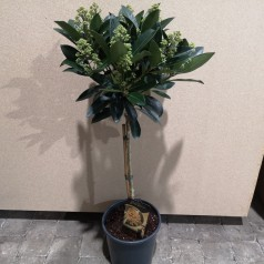 Skimmia japonica Miracle - 60 cm. stamme