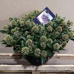 Skimmia japonica Marlot - Dværg Skimmia - p25 50+blomster