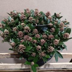 Skimmia japonica Pink Dwarf - Dværg Skimmia p25 50+blomster