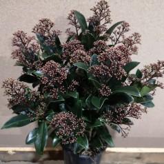 Skimmia japonica Rubella - p15 20+blomster