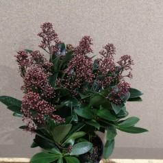 Skimmia japonica Rubella - p13 14+blomster